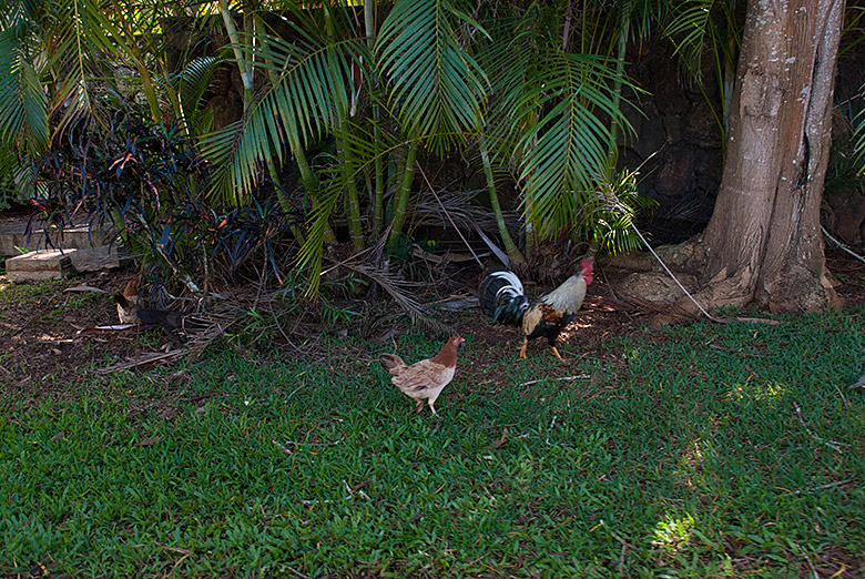 Chickens chillin' in the shade.